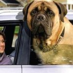 Interesting Facts: 25 Giant Dogs You'll Be Glad Aren't Sitting On Your Lap